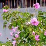 roza_cvetove