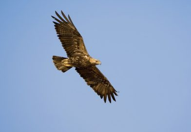 Вкопават 50 км. електропроводи в районите на Елхово и Тополовград, за защита на царския орел
